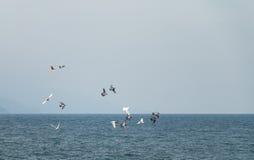 Flock of Pigeons Royalty Free Stock Image