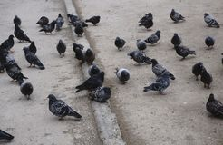 A flock of pigeons on the pavement royalty free stock photography