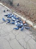 A flock of pigeons on the pavement eats stock photo