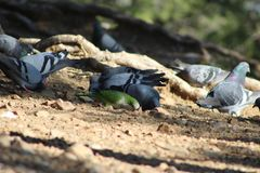 Flock of pigeons pecking grain with an unexpected guest. Flock of pigeons pecking grain in the mountains surrounding Barcelona, Spain. An Argentine parrot Stock Photos