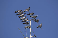 A flock of pigeons perched on a TV antenna. A flock of pigeons stout bodied  birds with small bills with fleshy ceres  in the  bird clade Columbidae perched on a Stock Image