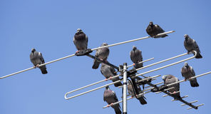 A flock of pigeons perched on a TV antenna. A flock of pigeons stout bodied  birds with small bills with fleshy ceres  in the  bird clade Columbidae perched on a Stock Photos