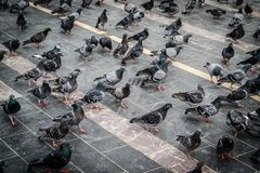 Pigeon Covey Royalty Free Stock Image