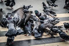 Pigeon Covey Royalty Free Stock Photography