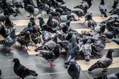 Pigeon Covey Stock Photo