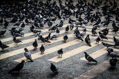 Pigeon Covey Stock Photos