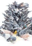 Flock of pigeons. A flock of pigeons ranked eats millet in the snow Stock Images