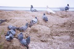 Flock of pigeons on the rock. Close-up view stock images