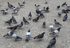 A flock of pigeons in Timisoara Stock Photos