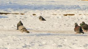 A flock of pigeons sits on the snow stock video footage