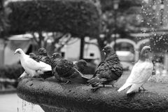A flock of pigeons sitting on the fountain in hot summer.  Stock Photo