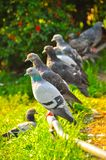 A flock of pigeons sitting on a perch and waiting for food royalty free stock photography