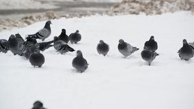 Flock of pigeons on snow stock video