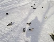 A flock of pigeons in the snow of a frozen lake stock images