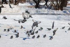 Flock of pigeons on snow Stock Photo