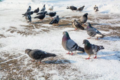 Flock of pigeons at the snowy ground. Winter day Royalty Free Stock Image