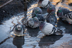 Flock of pigeons in a spring pool stock photo
