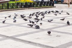 Flock of pigeons Royalty Free Stock Images