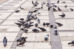Flock of pigeons Stock Image