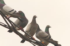 Flock of pigeons standing on electric wire Royalty Free Stock Images