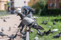 Flock of pigeons on the street Royalty Free Stock Photo