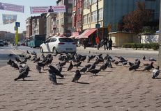 Flock of pigeons on the streets of Istanbul Royalty Free Stock Image