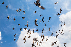 The flock of pigeons in the summer sky Royalty Free Stock Images