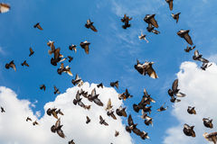 The flock of pigeons in the summer sky Royalty Free Stock Photo