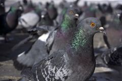 Flock of pigeons from within. Flock of pigeons visible from the height of the pigeon`s eyes. focus on the nearest bird closeup royalty free stock photography
