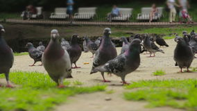 A flock of pigeons walks the ground stock video