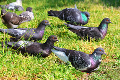 A flock of pigeons Royalty Free Stock Photos