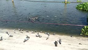 Flock of pigeons on waterfront stairs, shoal of fish in river