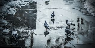 A flock of pigeons royalty free stock images