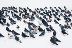 Flock of pigeons in winter Stock Photography