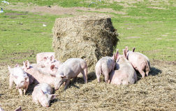 Flock of pigs in a bio farm Stock Image
