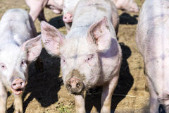 Flock of pigs in a bio farm Stock Photos