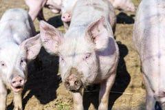 Flock of pigs in a bio farm Stock Photos