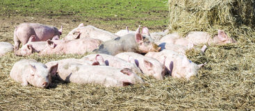 Flock of pigs in a bio farm Royalty Free Stock Photography