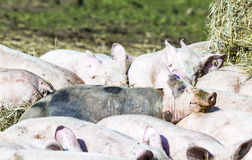 Flock of pigs in a bio farm Stock Photography