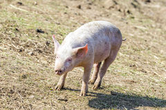 Flock of pigs in a bio farm Royalty Free Stock Image