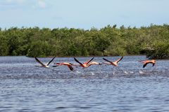 Flock of pink american flamingos flying over water Royalty Free Stock Image