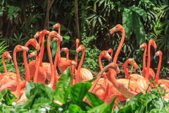Flock of Pink Caribbean flamingos royalty free stock images