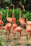 Flock of Pink Caribbean flamingos Stock Image