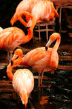 The flock of pink flamingo Royalty Free Stock Photo