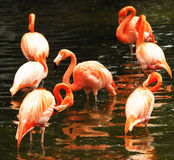 The flock of pink flamingo Stock Images