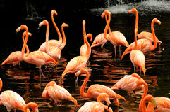 The flock of pink flamingo Stock Photography