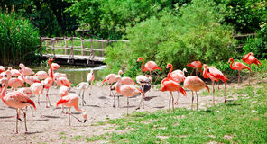 Flock Of Pink Flamingo Royalty Free Stock Photography
