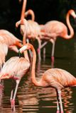 Pink Flamingoes, Pink Hues. A flock of pink flamingo birds wading in the water in search for food. Pink and green hues royalty free stock photo