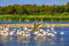 Flock of pink flamingos in Camargue national park. Exotic birds sleeping in a shallow lake. Flock of  pink flamingos. Sunset in the Camargue national park. Rhone Royalty Free Stock Photo