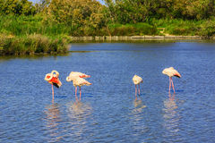 Flock of pink flamingos in the channel Stock Photos